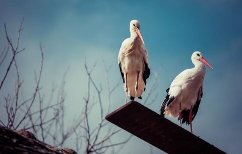 couple cigognes blanches croatie